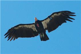 California Condor Pinnacles NM 2.jpg