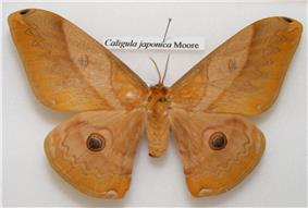 Pinned specimen of female moth showing filamentous antennae.