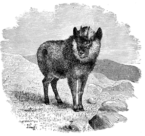 Black-and-white illustration of a goat-antelope on a rocky hilltop.