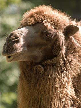 A portrait of a camel with a visibly thick mane