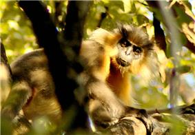 Capped langur in Manas Wildlife Sanctuary in Assam