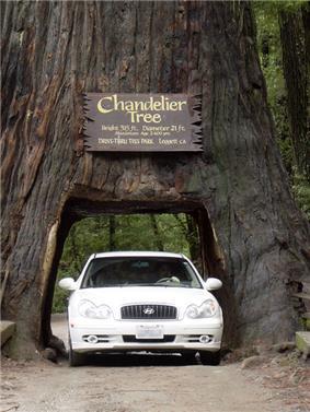 A car drives through Leggett's Drive-Through Chandelier Tree.