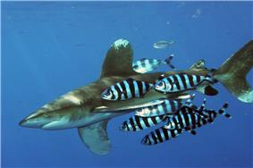 Shark accompanied by group of fish with black and white vertical stripes and split tail fin