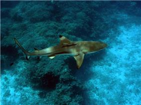 View from above of a brown shark with a rounded snout, swimming over algae-covered rocks