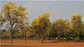 A wide area covered with several Tabebuias, or popularly known as Trumpet tree.