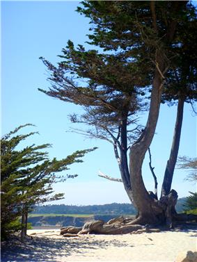View towards the city's white-sand beach, Carmel-by-the-Sea; an old Monterey Cypress in the foreground