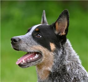 Blue Cattle dog with a black spot over its eye