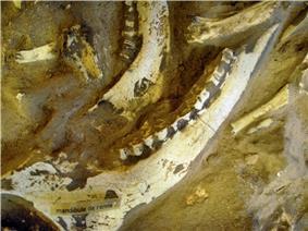 image  of  in situ reindeer fossils