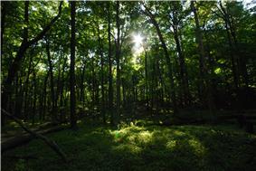 The sun shines through a green canopy of beech trees
