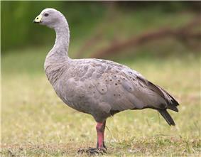 Cape Barren goose standing