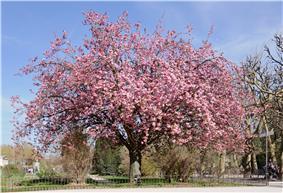 Cerisier du Japon Prunus serrulata.jpg