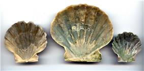 Chesapecten jeffersonius