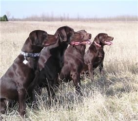Chocolate Labrador Retrievers.jpg