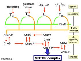 Signalling pathways of E.coli