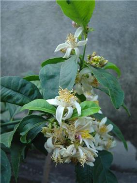 Cidra flor.JPG