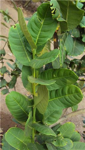Citrus medica leaves.jpg