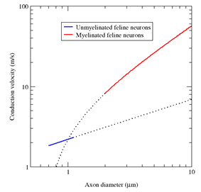 A log-log plot of conduction velocity (m/s) vs axon diameter (μm).