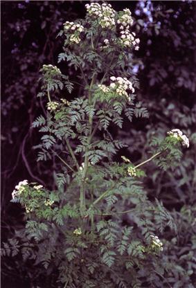 A The poison hemlock plant.
