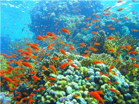underwater view of a shoal of small bright red fish swimming above diverse corals in a lagoon.