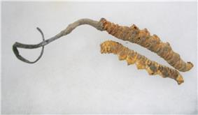 Two dried yellow-orange caterpillars, one with a curly grayish fungus growing out of one of its ends. The grayish fungus is roughly equal to or slightly greater in length than the caterpillar, and tapers in thickness to a narrow end.