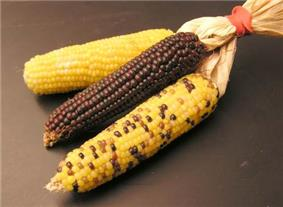 Three different types of corn