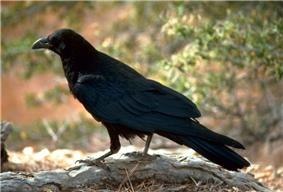 Traditional Animal Nickname: Crows/Corbins