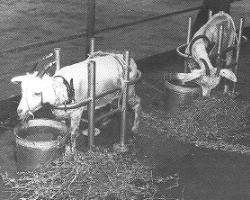 Two goats penned on ship deck, within reach of water and food.