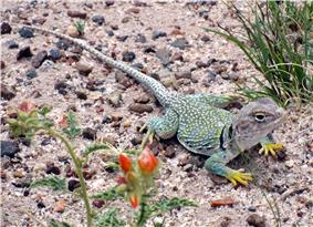 A green lizard with yellow feet rests on a bed of sand and gravel.