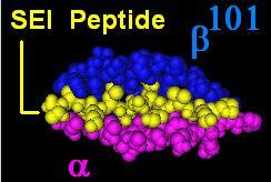 ligand (Staphylococcal enterotoxin 1-C peptide:pkyvkqntlklat) within the binding pocket of DR αβ101