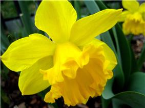 Bright-yellow daffodil in bloom