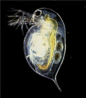 A microscopic, transparent, oval animal against a black background. The head has a large eye, antennae, and comes to a pointed beak. The rest of the animal is smooth round and fat, culminating in a pointed tail. The internal anatomy is apparent.