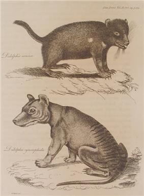 A black and white drawing of a devil, which is in the upper half of the picture, facing right, and a thylacine in the lower half, facing left. Both are shown in profile and depicted on a matting of grass or other vegetation.