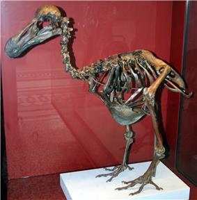 Brown, mounted dodo skeleton