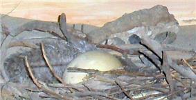 Replica dodo egg and nest