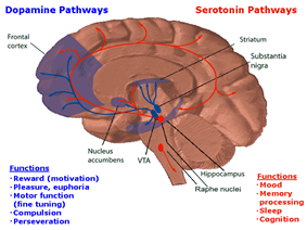In this drawing of the brain, the serotonergic system is red and the mesolimbic dopamine pathway is blue. There is one collection of serotonergic neurons in the upper brainstem that sends axons upwards to the whole cerebrum, and one collection next to the cerebellum that sends axons downwards the spinal cord. Slightly forward the upper serotonergic neurons is the ventral tegmental area (VTA), the dopaminergic neurons there sends axons to the nucleus accumbens, hippocampus and the frontal cortex. Over the VTA is another collection of dopamine cells, the substansia nigra, which send axons to the striatum.