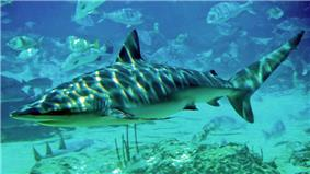 A grey shark swimming in shallow, sun-dappled waters, with a large school of smaller fish in the background