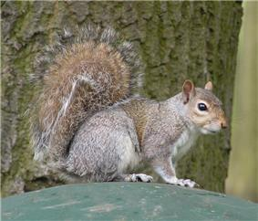 Squirrel oriented horizontally