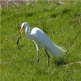 A white heron with grey legs and a yellow/orange bill standing in green grasses throwing a lizard with its bill.