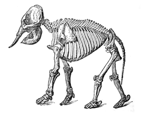 Endoskeleton of an elephant