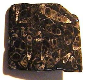 An irregular dark stone with a flat polished front; many white fragments of elongated, spiral,