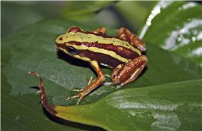 A photo of a Epipedobates tricolor on a leaf