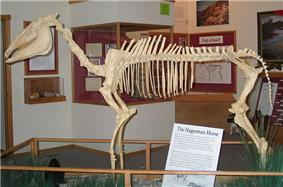 A mounted skeleton of the Hagerman Horse within a wood-framed exhibit. Additional exhibits and wall fixtures can be seen in the background.