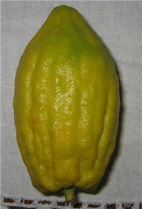 Etrog without Pitom.jpg