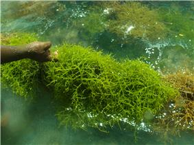 Eucheuma denticulatum, a species of red alga that naturally exists in the country.