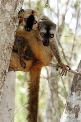 Two red-fronted lemurs wrapped around each other on a tree limb