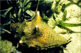 Large sea snail with yellowish shell and protruding eyestalks, with green seagrass on a sandy bottom