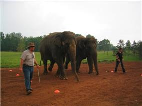 Two Asian elephants are at the center of the image, side-by-side. Two men on opposite sides (holding thin, metal poles) are guiding the elephants through orange cones on the dirt ground. In the background is grass and trees and an overcast sky.