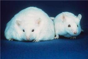 Two white mice both with similar sized ears, black eyes, and pink noses: The body of the mouse on the left, however, is about three times the width of the normal-sized mouse on the right.