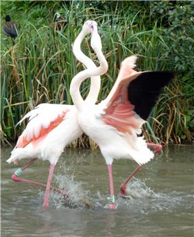 Captive flamingos fighting one another in shallow water