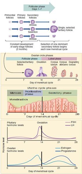 Over the mentrual cycle physiological changes occur in the uterus as well as ovaries.